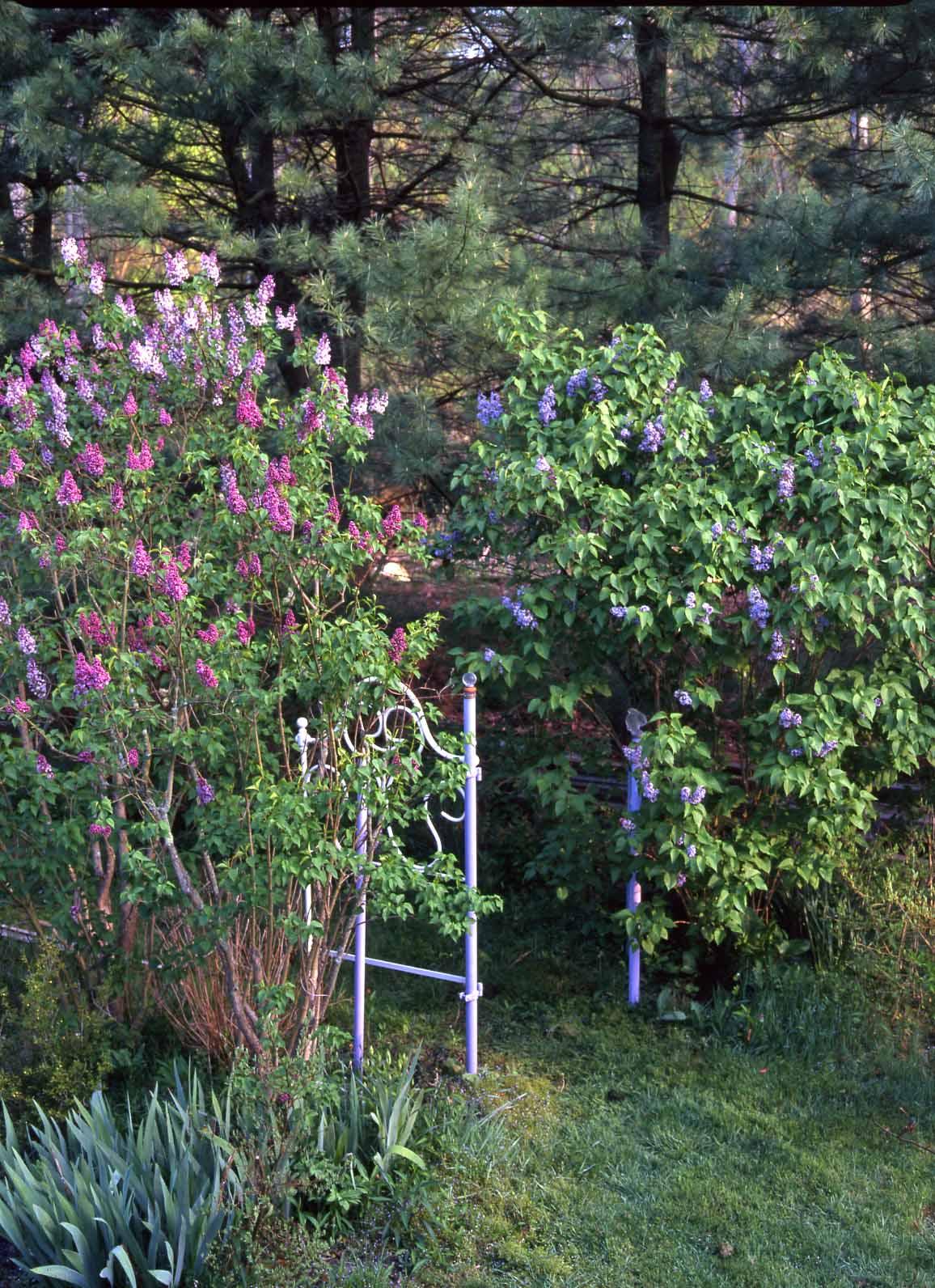 Lilac white gateLR
