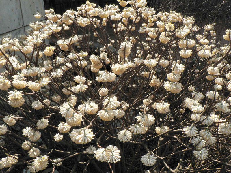 Edgeworthia entire plant
