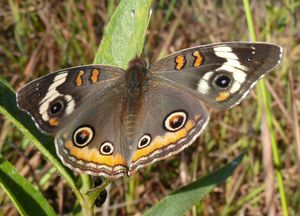 Common_Buckeye,_Jim_McCormaccrop
