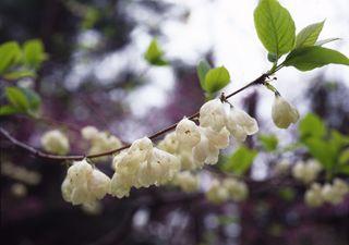Halesia_flowers