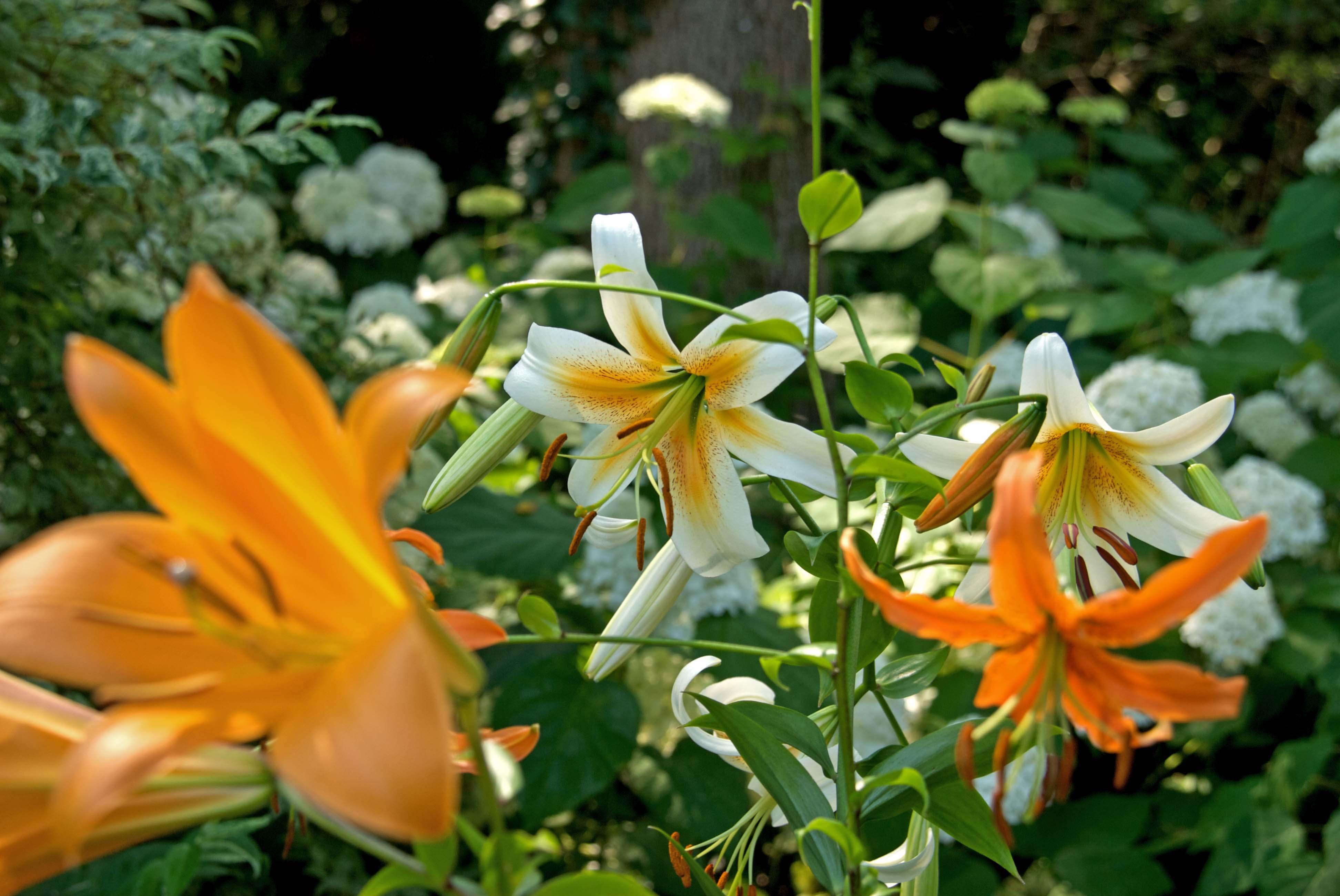 Lilies_7-5-10_hori