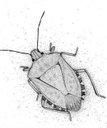 BrownMarmorated_Stinkbug