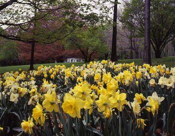 Daffodil_hill