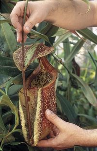 Nepenthes_rafflesiana