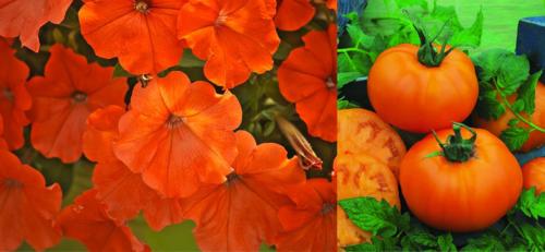 Petunia_tomato(1)