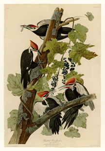 Pileated_WoodpeckerLR