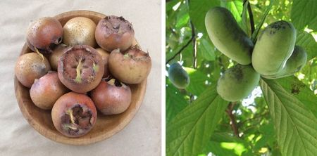 Medlar and pawpawfruit