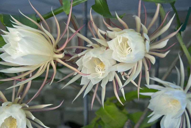 Night_blooming_cereus__LR